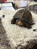 Коробка Turtle& x27 младенца женская; s сперва посещает к ветеринару Стоковая Фотография