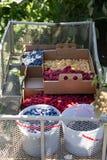 Коробки заполненные с ягодами на ферме u-выбора стоковая фотография