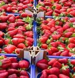 Коробки зрелых красных клубник для продажи в фрукте и овоще Стоковые Изображения