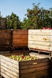 Коробки яблок в саде Стоковое Изображение RF