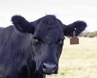 Корова Ангуса смотря вперед Стоковые Изображения