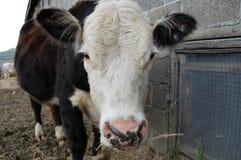 Корова Брайна белая Стоковые Фотографии RF