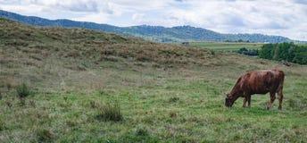 Корова Брайна есть траву на зеленом луге стоковые изображения