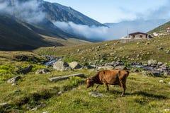 Корова Брайна на выгоне горы в лете Стоковая Фотография