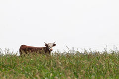 Корова Брайна смотря вперед Стоковые Изображения