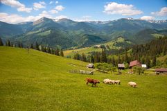 Корова Брайна среди белых овец на зеленом выгоне в горах Стоковая Фотография RF