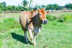 Корова Брайна стоя в луге Она жует траву Стоковые Изображения RF
