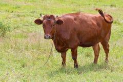 Корова Брайна стоя на траве Стоковое Фото