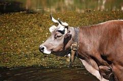 Корова Брайна с рожками в пруде Стоковая Фотография RF