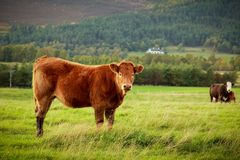 Корова Брайна Стоковое Изображение RF