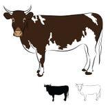 Корова Брайн и белое пальто на белизне Стоковые Фотографии RF