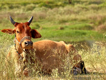 Корова/бык ослабляя на заплате травы, Исламабада, Пакистана Стоковые Изображения