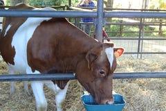 Корова выпивая от фермы Стоковое фото RF