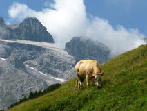 корова высокая Стоковая Фотография