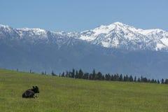 Корова вытаращить на горах Новая Зеландия Стоковые Фото
