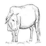 Корова вьетнамца Стоковое Изображение