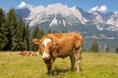 Корова в альп Стоковые Фотографии RF