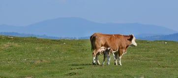 Корова в выгоне, гора Dobratsch, горные вершины Karawanken стоковые фотографии rf