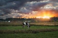 Корова в выгоне Стоковые Изображения RF
