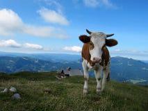 Корова в горах Стоковые Изображения