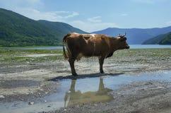 Корова в горах Стоковые Фотографии RF