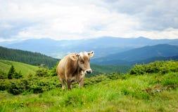 Корова в горах Стоковое Изображение