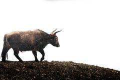 Корова в гористой местности, Тибете, Китае стоковое фото rf