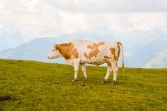 Корова в горных вершинах Стоковая Фотография