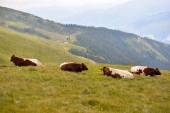 Корова в горных вершинах Стоковые Изображения