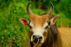 Корова в зеленом поле Стоковое фото RF