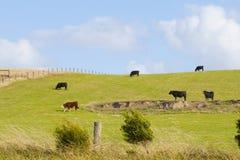 Корова в злаковике в Австралии Стоковое Изображение RF