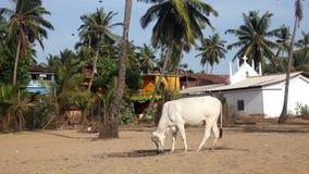 Корова в Индии сток-видео
