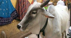 Корова в Индии Стоковые Фото