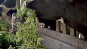Корова в конюшне на ферме акции видеоматериалы
