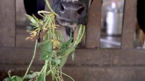 Корова в конюшне на ферме видеоматериал
