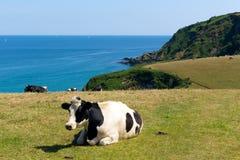 Корова в побережье Корнуолле Англии Великобритании поля корнуольском Стоковая Фотография RF