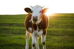 Корова в поле Стоковые Изображения