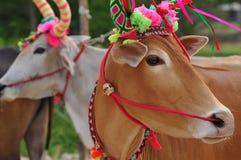 Корова в поле риса Стоковое Изображение