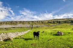 Корова в поле, участках земли Йоркшира, Англии Стоковая Фотография