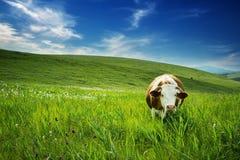 Корова в поле Стоковая Фотография