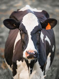 Корова в поле Стоковые Изображения RF