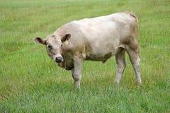 Корова в поле Стоковые Фото