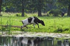 Корова в пруде Стоковая Фотография