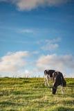 Корова в солнце лета Стоковые Изображения