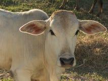 Корова в Таиланде Стоковое Изображение RF