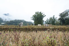 Корова в террасах риса field в Mae Klang Luang, Чиангмае, Таиланде Стоковые Фотографии RF