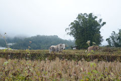 Корова в террасах риса field в Mae Klang Luang, Чиангмае, Таиланде Стоковое Изображение RF