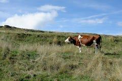 Корова в луге в горах Стоковая Фотография RF