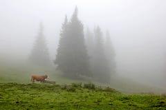 Корова в луге в туманном лесе Стоковые Изображения