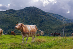 Корова в луге горы Стоковая Фотография RF